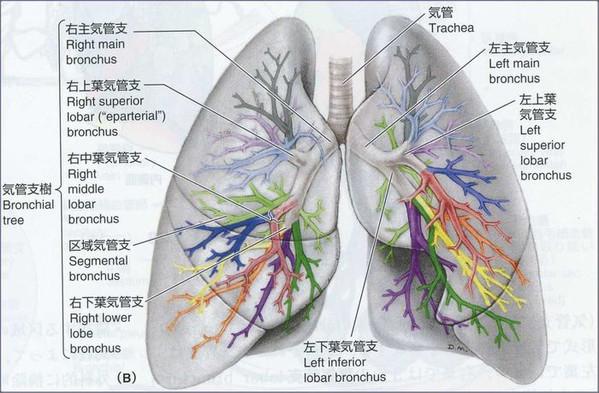 Lungbronchus