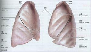 Lunganatomy