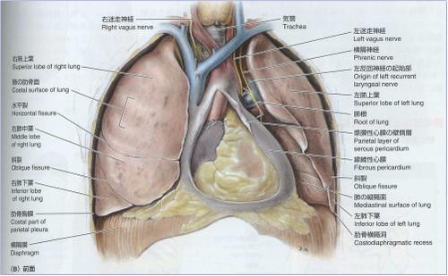 Lungstruct
