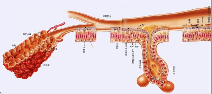 Alveolor