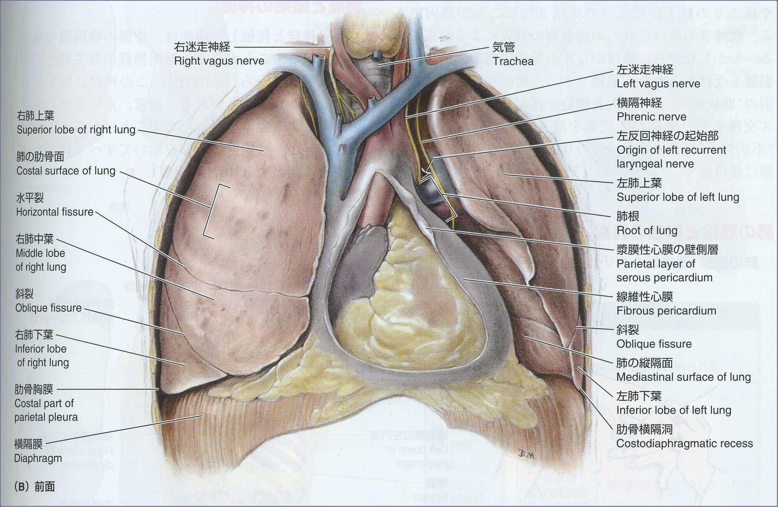 肺 胸膜 肥厚 尖 両